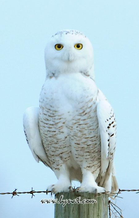 Snowy-Owl-454
